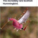 Celtic Bagpipe Hummingbird Funny Humorous Meme